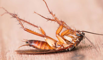 Cockroach Pest Control Solutions